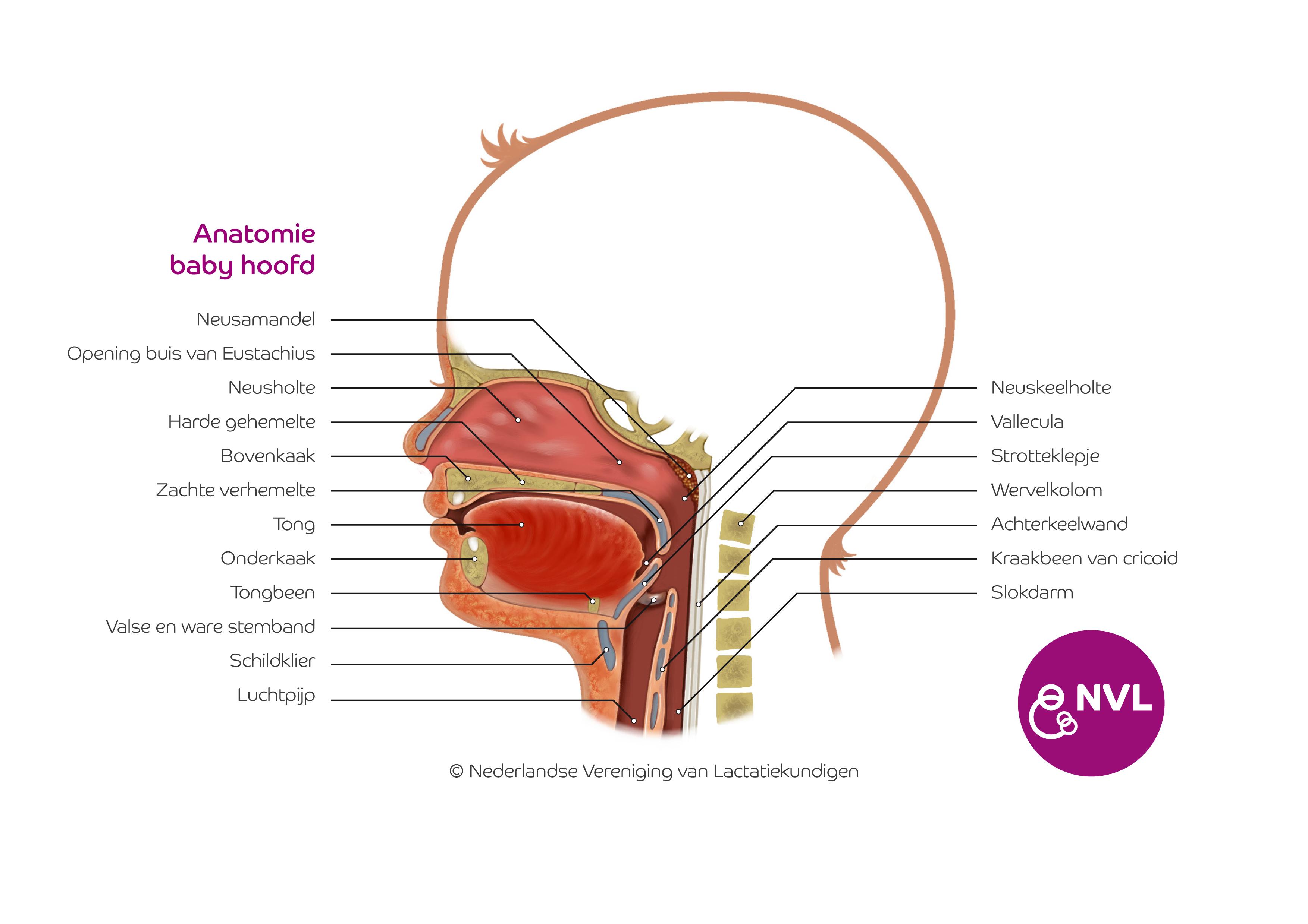 Anatomie Hoofd Baby