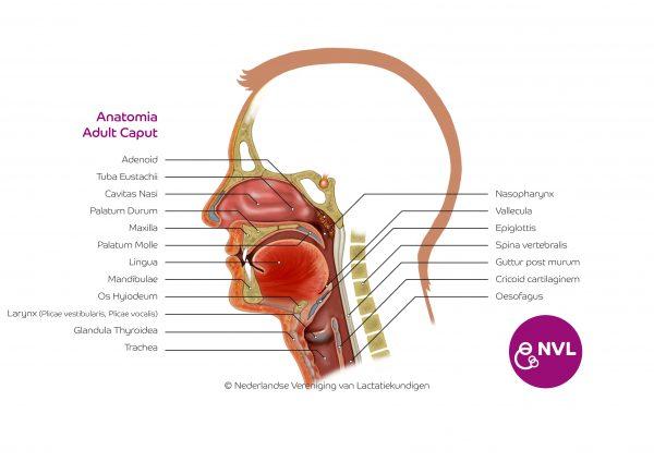 Anatomia adult caput