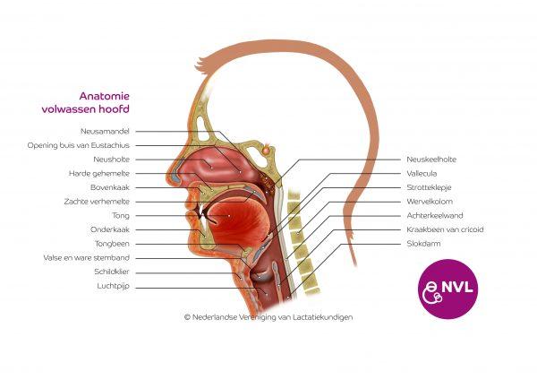 Anatomie volwassen hoofd