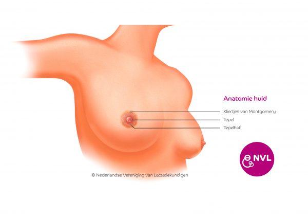 Anatomie borst huid | NVL