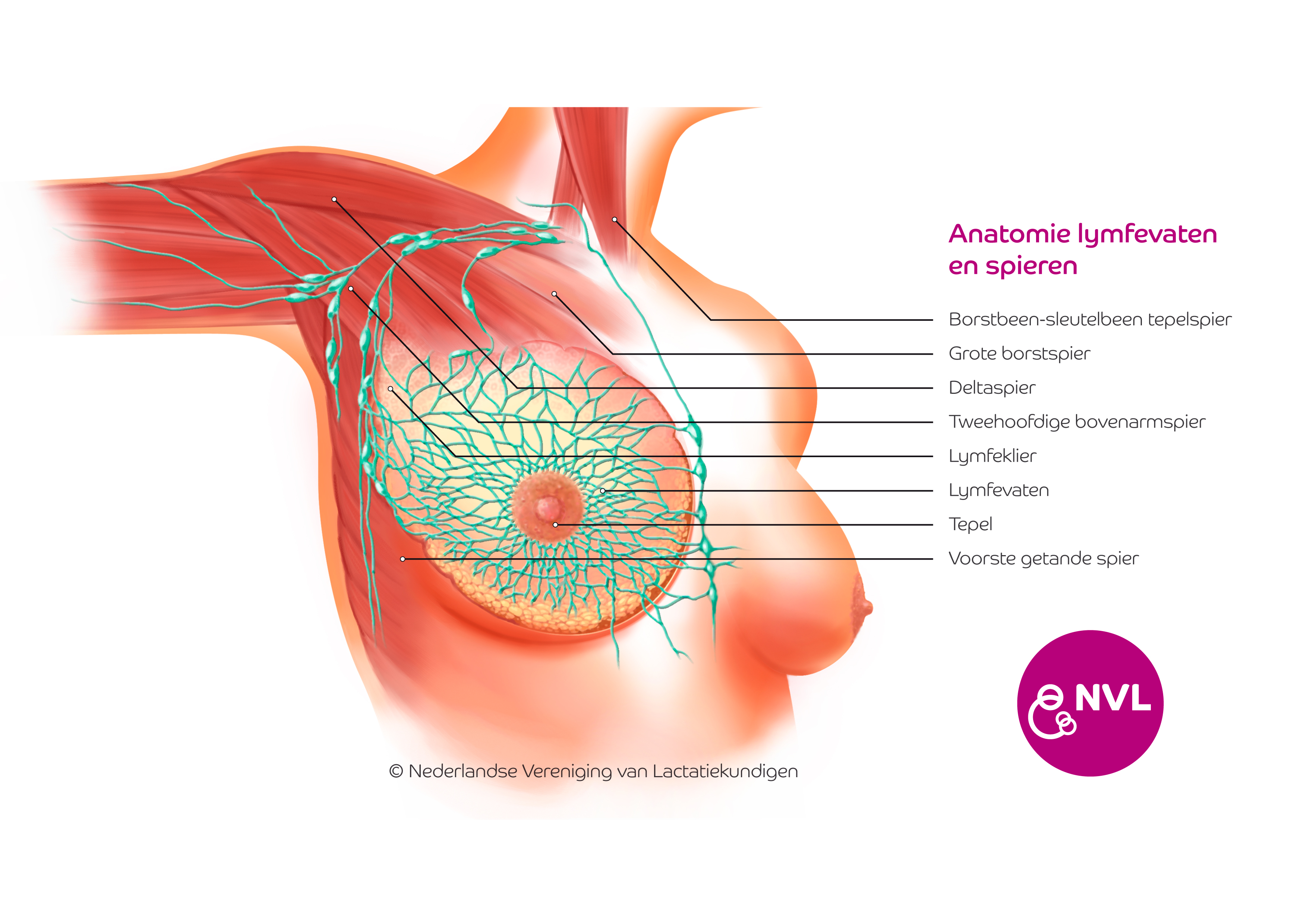Lymfevaten En Spieren Borst