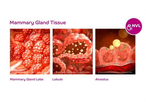 Mammary gland tissue | NVL
