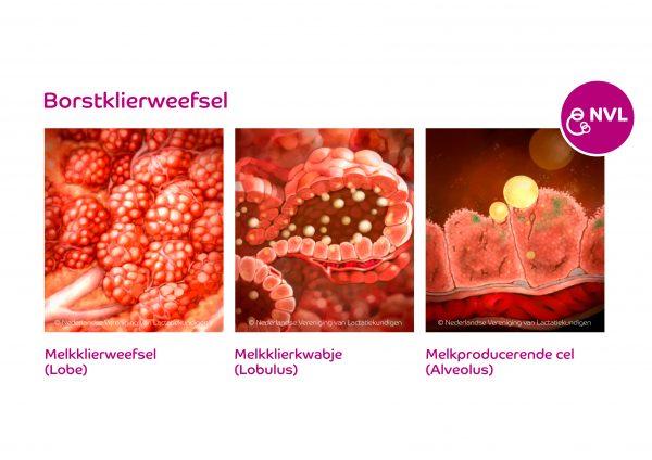 Borstklierweefsel | NVL