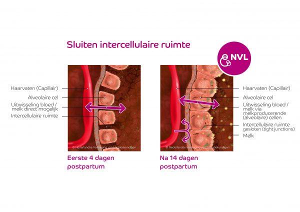Anatomie intercellulaire ruimte borstklierweefsel | NVL