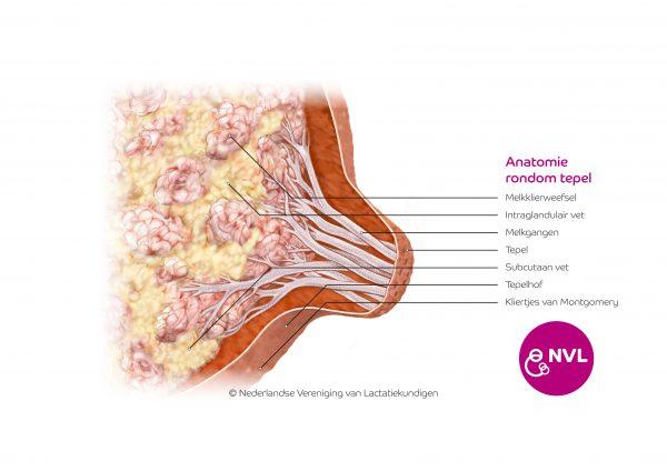 Anatomie rondom tepel | NVL