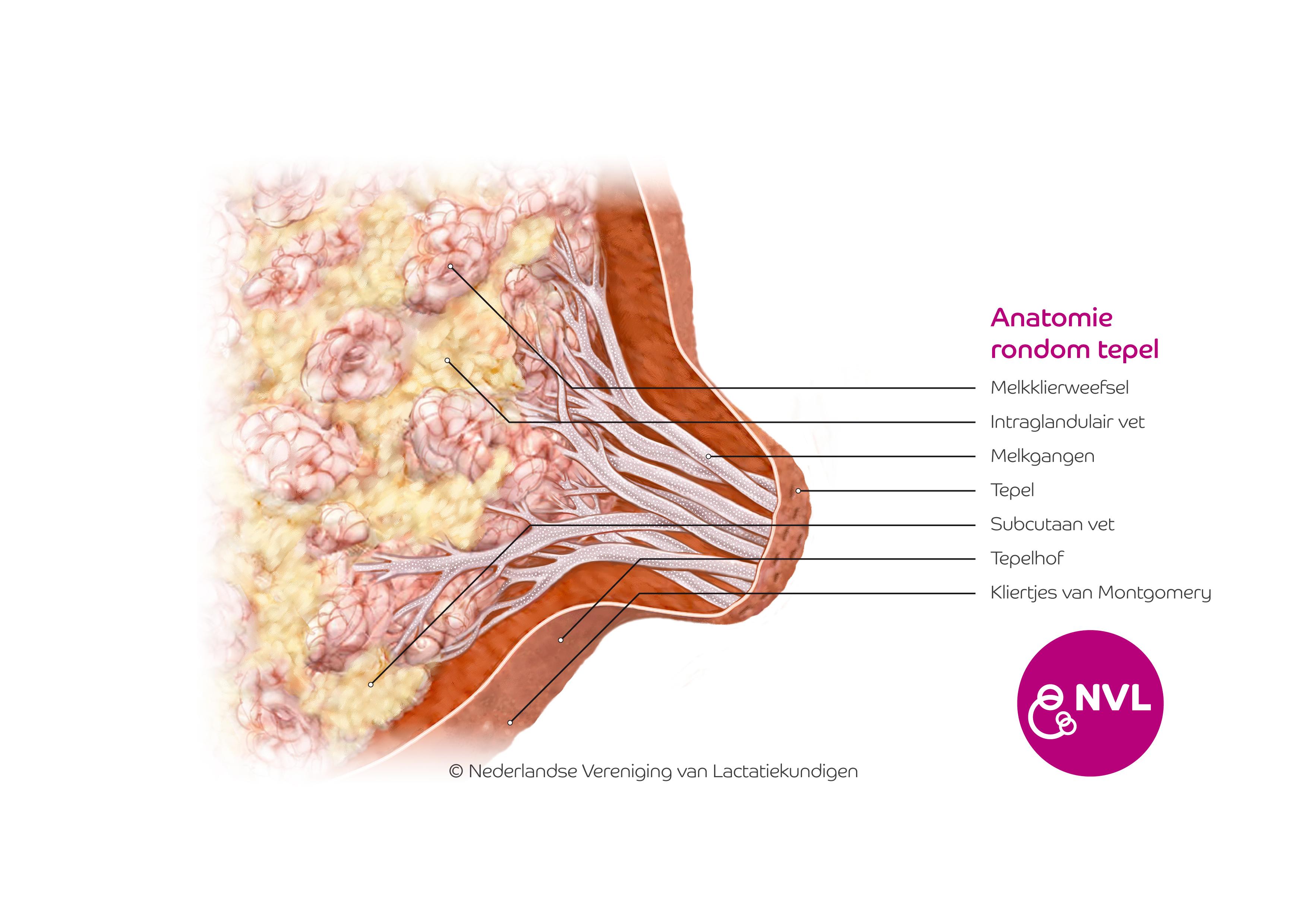 Anatomie Tepel